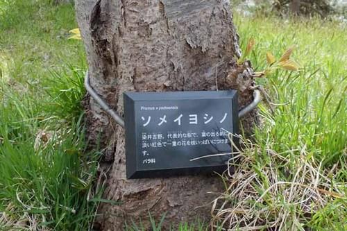 美唄桜6.jpg