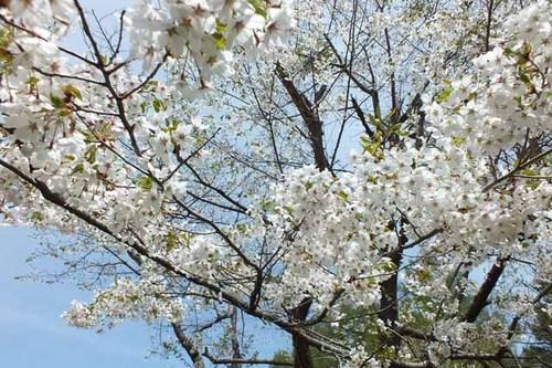 美唄桜2.jpg